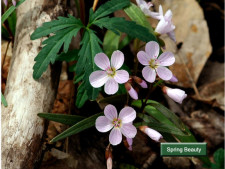 L04-Spring-Beauty